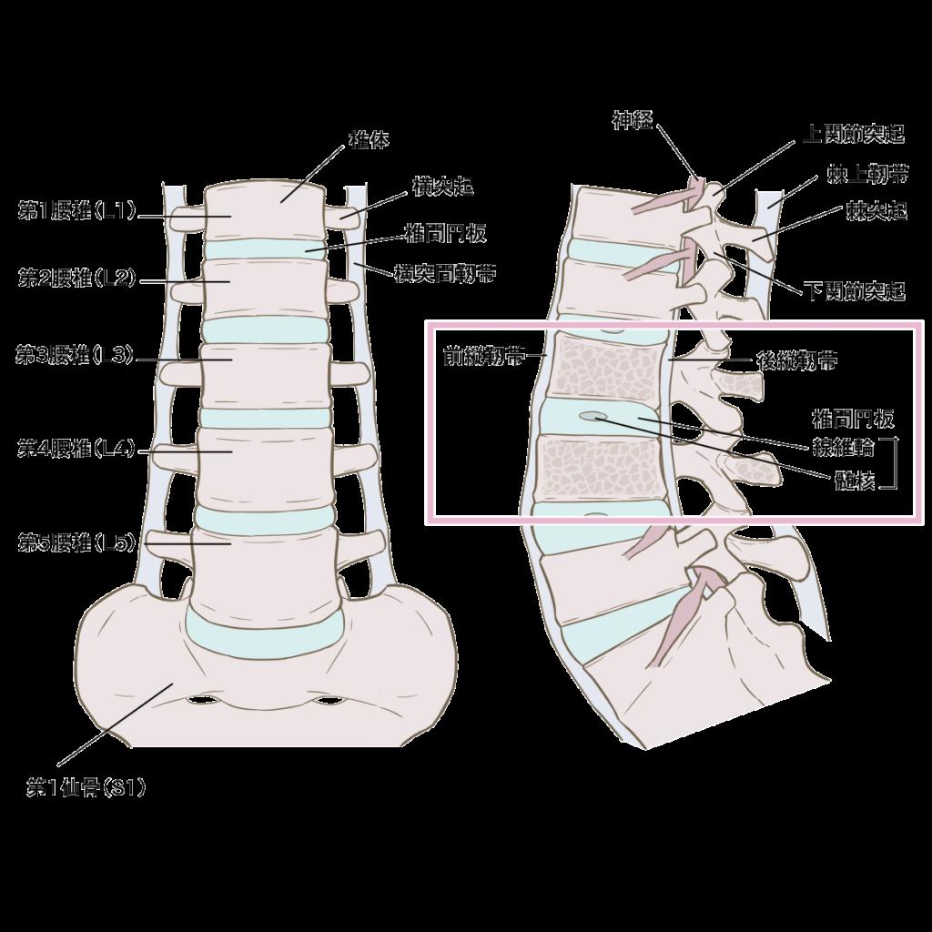 腰部解剖図