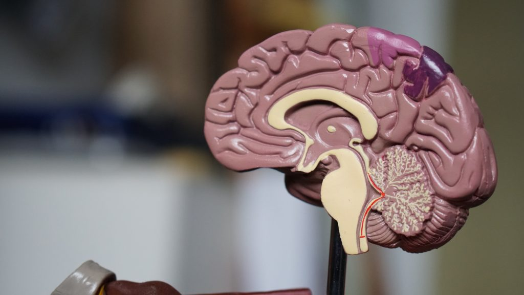 自律神経は脳でコントロールされる